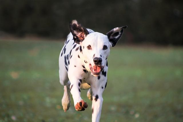 běžící dalmatin